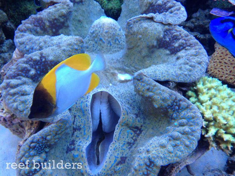 tridacna-gigas-giant-clam-1