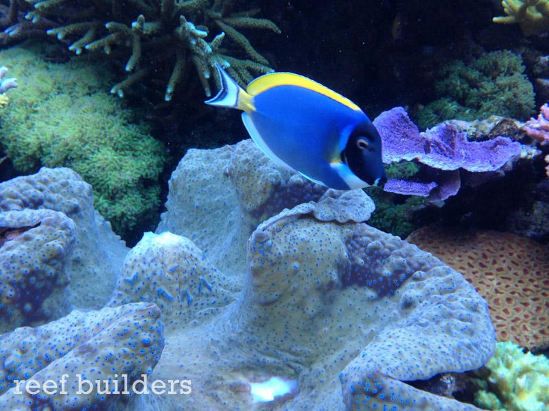 tridacna-gigas-giant-clam-3