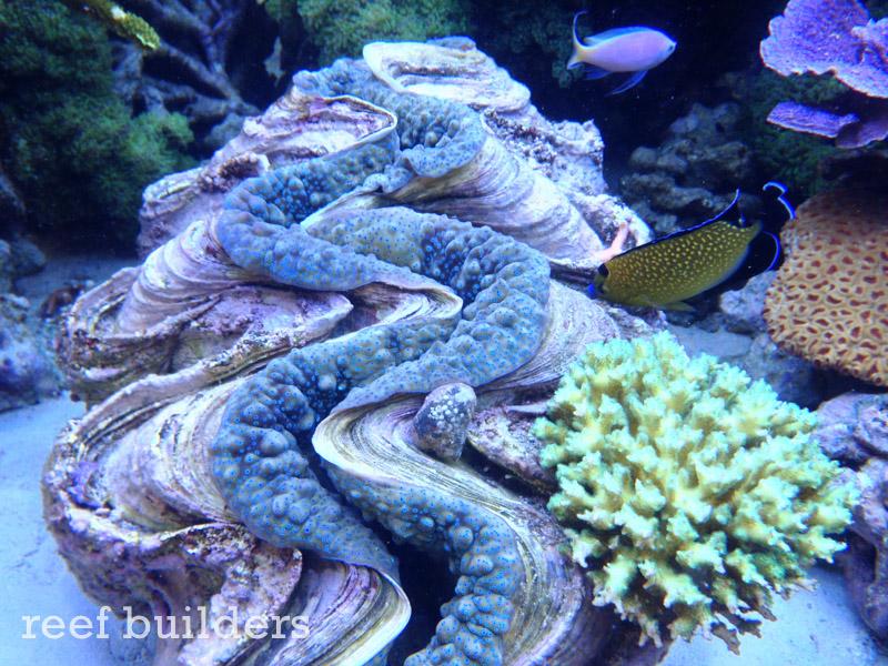 tridacna-gigas-giant-clam-4