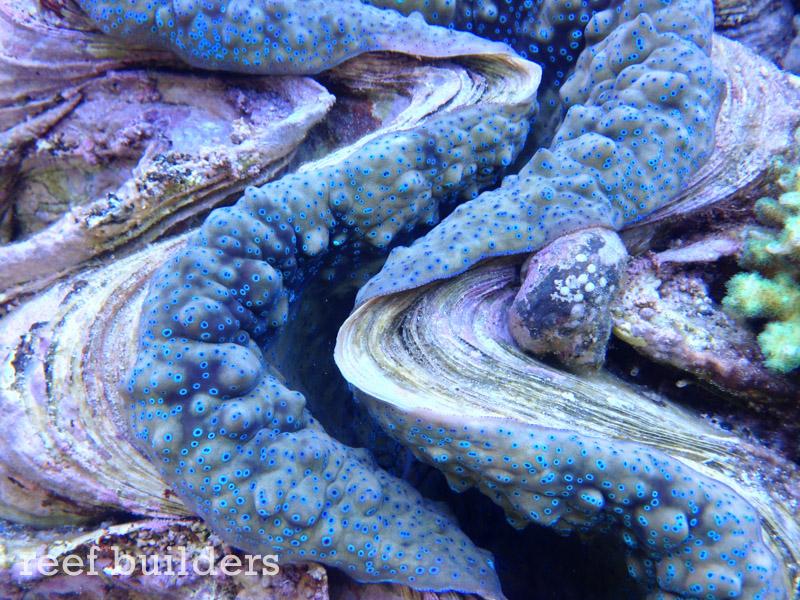 tridacna-gigas-giant-clam-5