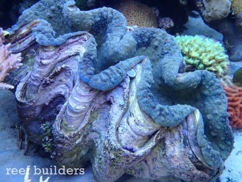 tridacna-gigas-giant-clam-6