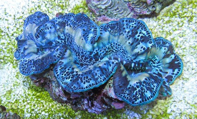 dejong maxima clam