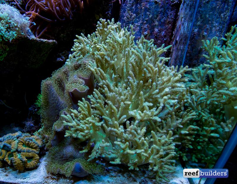 premier-tyson-reef-tank-green-sinularia