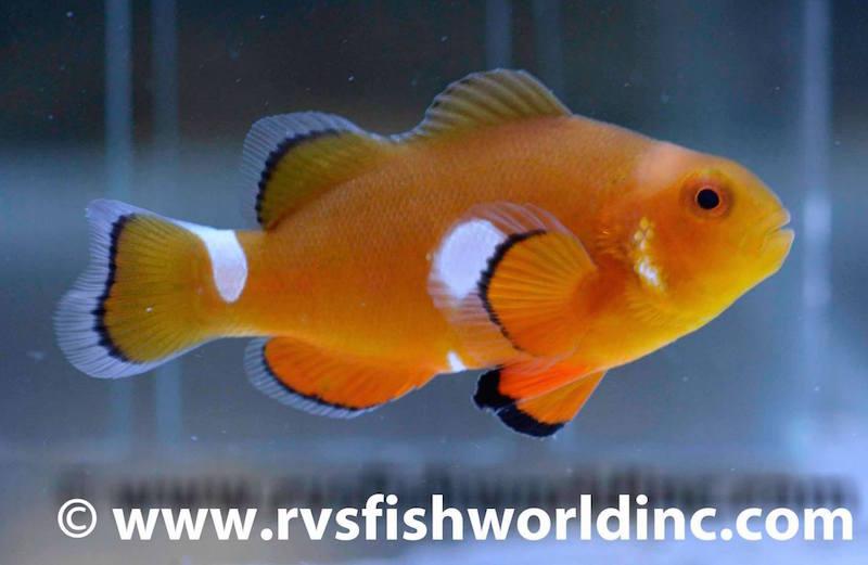 aberrant clownfish misbar-2.jpg