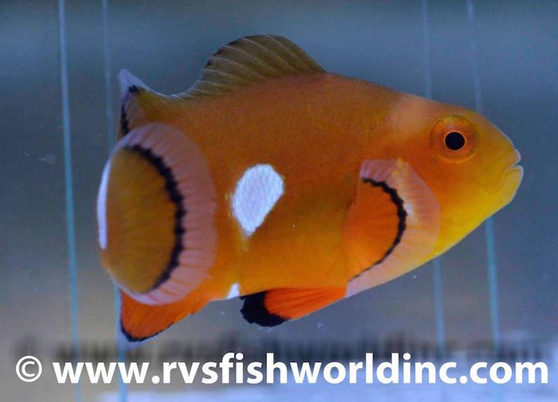 aberrant clownfish misbar-3.jpg
