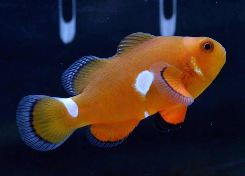 aberrant clownfish misbar-4.jpg
