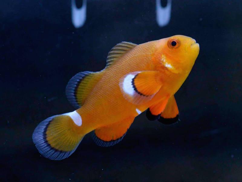 aberrant clownfish misbar-5.jpg