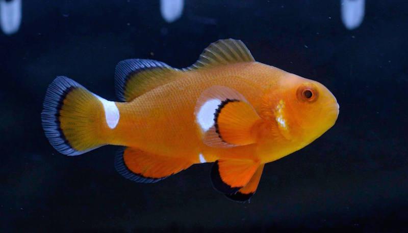 aberrant clownfish misbar-6.jpg