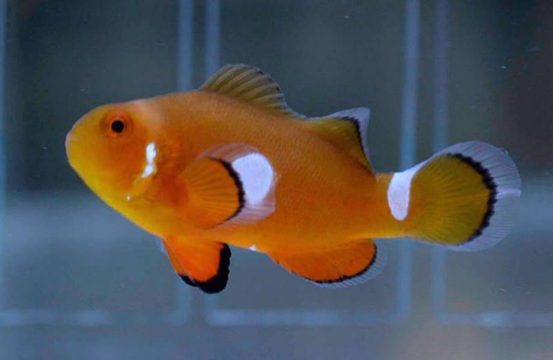 aberrant clownfish misbar-7.jpg