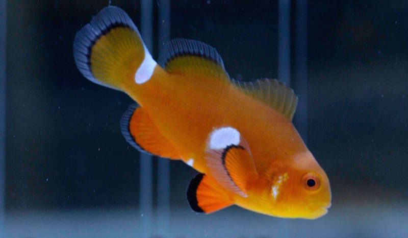aberrant clownfish misbar.jpg