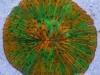 wys-green-orange-fungia