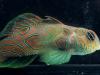 synchiropus-occidentalis-13