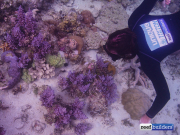 purple monster acropora solomon islands-2
