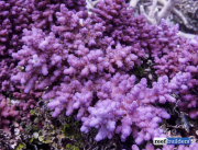 purple monster acropora solomon islands-3