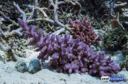 purple monster acropora solomon islands-6