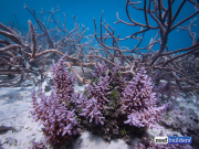 purple monster acropora solomon islands-9