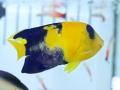 aberrant-bicolor-angelfish-1