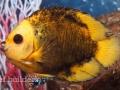 coral-beauty-aberrant-1