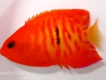 hyper-red-flame-angelfish