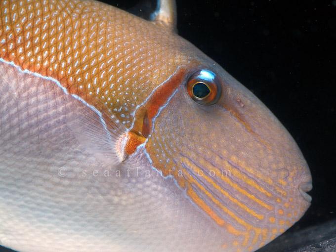 goldenback triggerfish