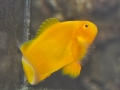 golden-clownfish-2-2