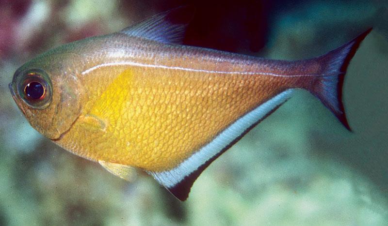 pempheris-vanicolensis-sweeper