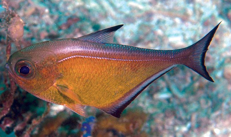 pempheris-vanicolensis