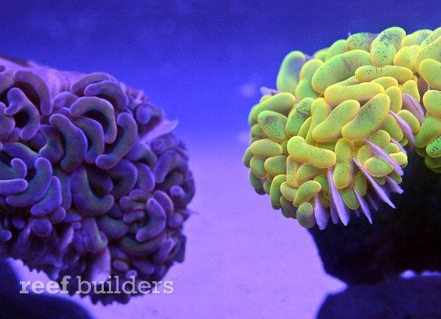 neon lemon lime yellow hammer coral