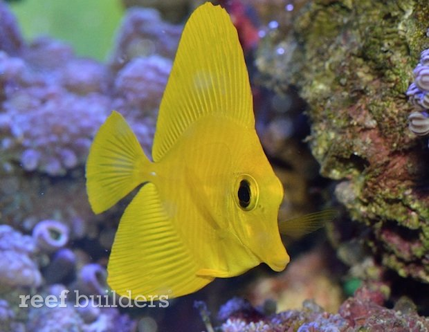 yellow Scopas Tang that   s even brighter than a Yellow TangZebrasoma Scopas Yellow