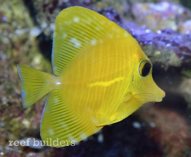 yellow zebrasoma scopas