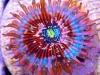 zoanthid-macro-photo-1