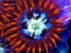 zoanthid-macro-photo-10