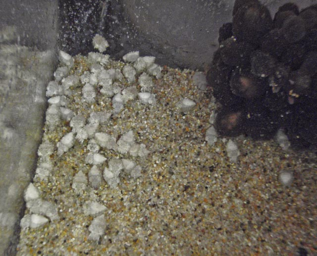 cuttlefish-hatchlings-2