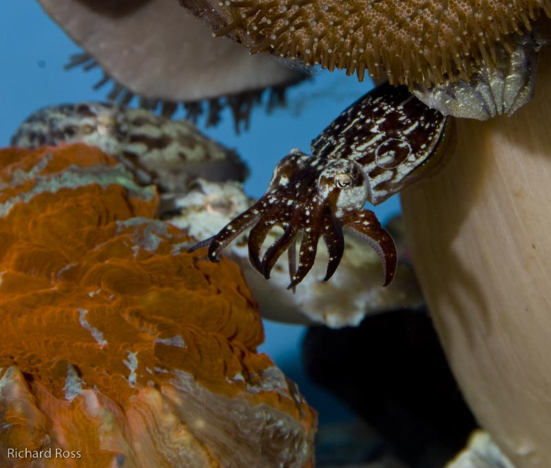 cuttlefish-mating-5