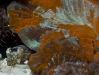 cuttlefish-mating-4