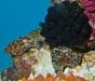 dwarf-cuttlefish-eggs
