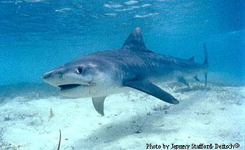 Marine Shark
