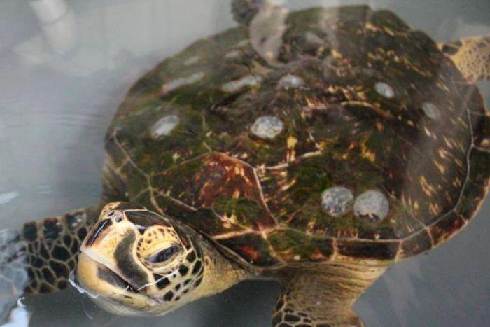 Hybrid-Sea-Turtle