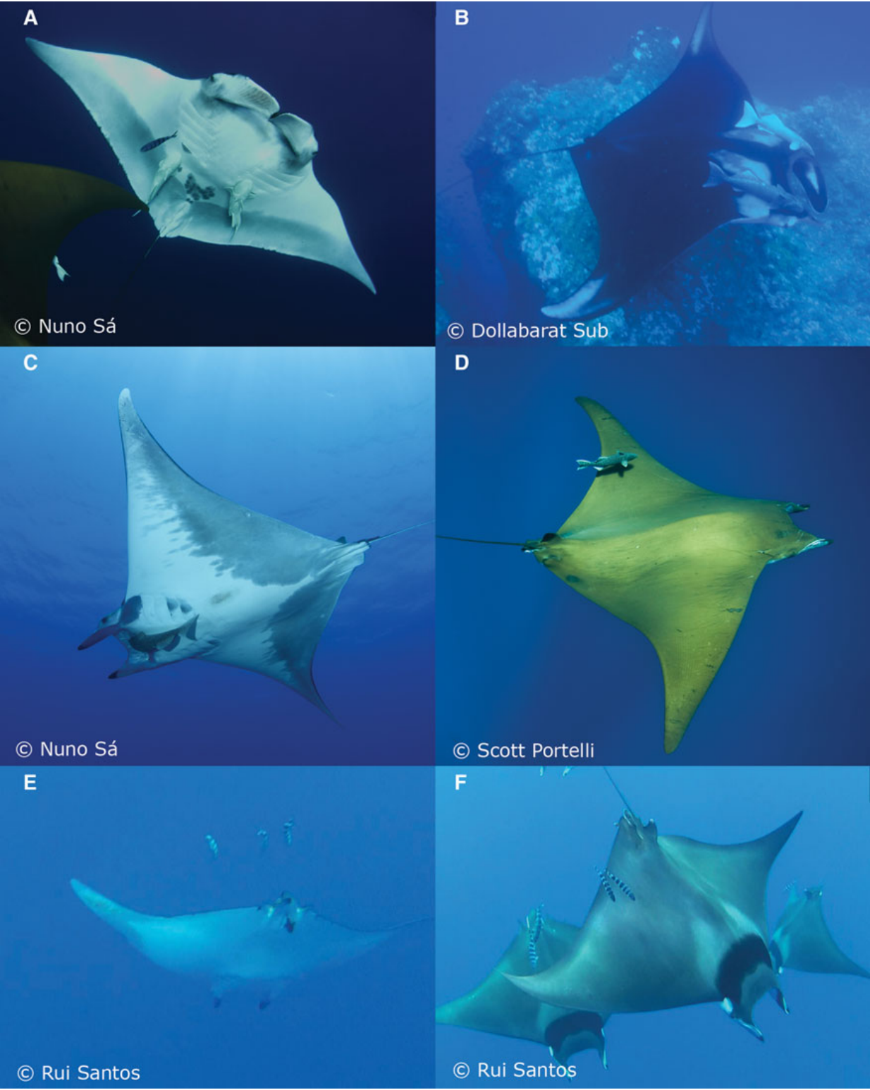 Top and bottom view of three Mobula species, A. Giant Manta C. Chilean Devil Ray F. Giant Devil Ray.
