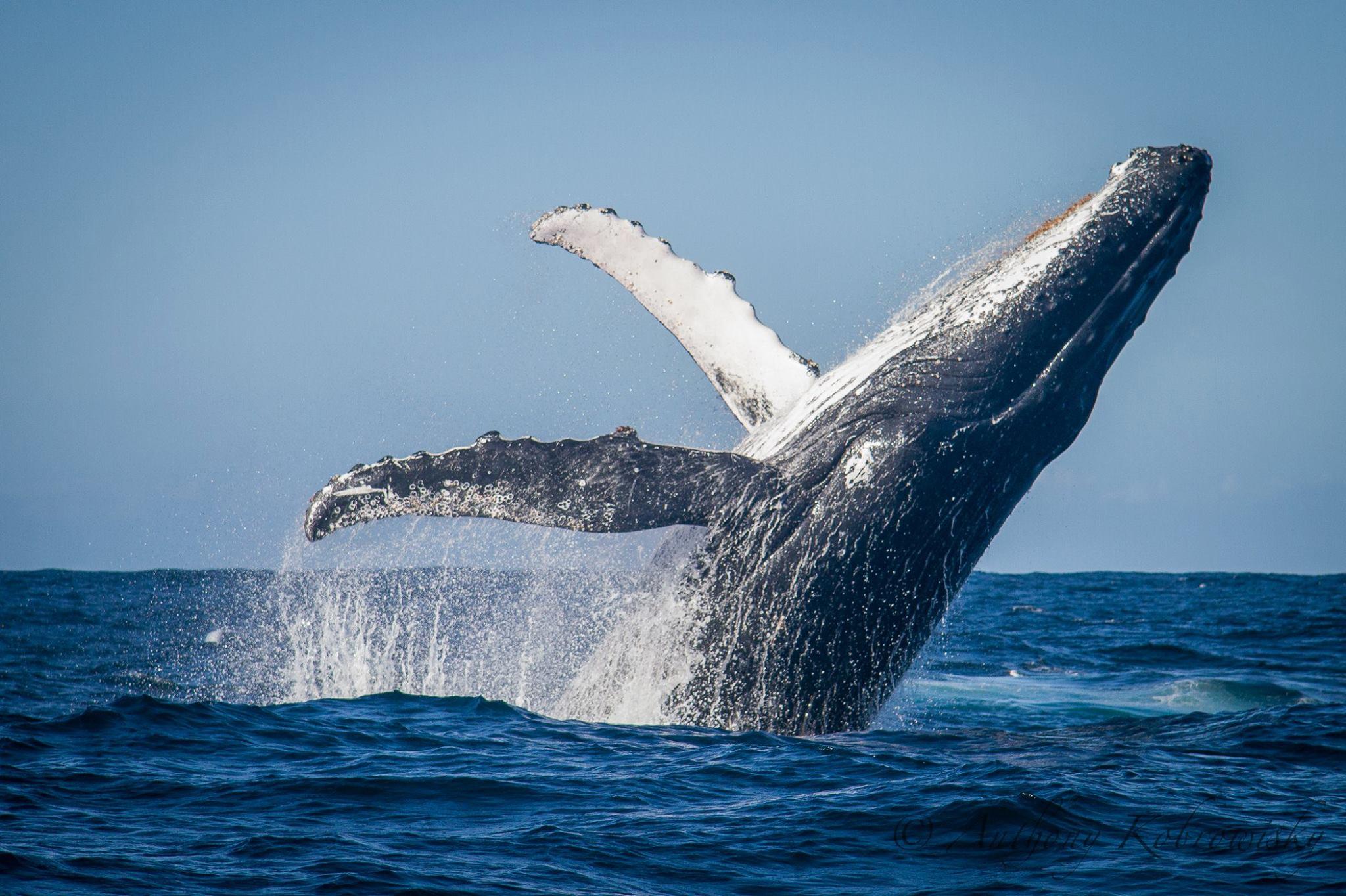 Humpback-Whale-Sea-Candy-Media