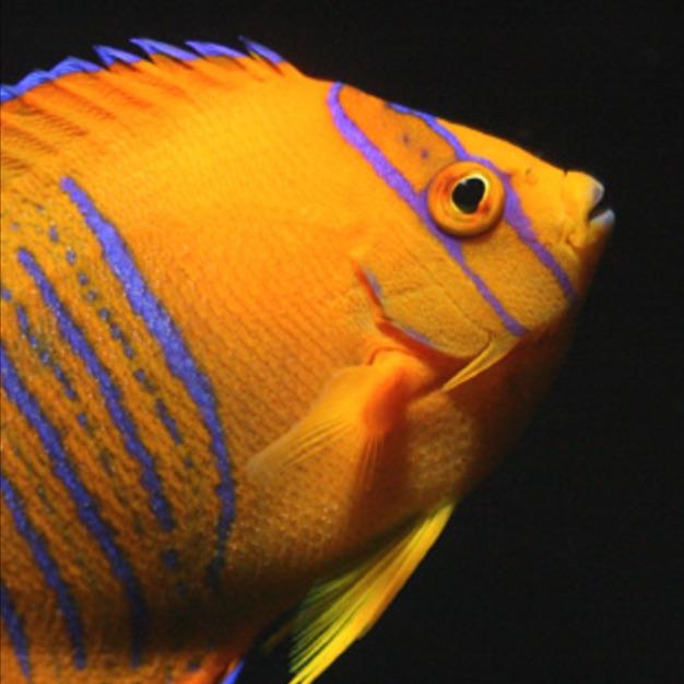 Juvenile Clarion angelfish. Photo: ReefBuilders