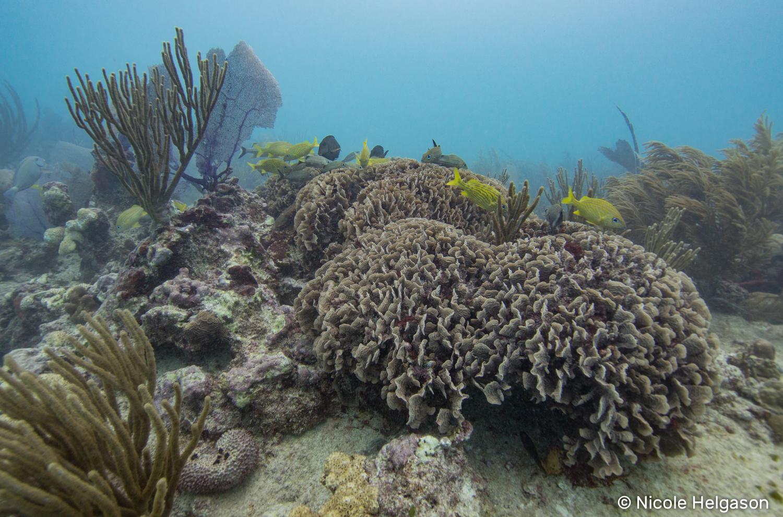Agaricia coral