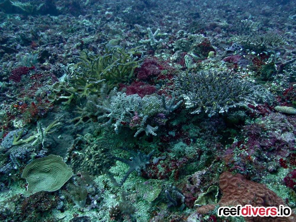 Coral in Malapascua